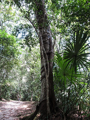"""Tikal: un arbre parasite poussant sur un autre <a style=""""margin-left:10px; font-size:0.8em;"""" href=""""http://www.flickr.com/photos/127723101@N04/26174344711/"""" target=""""_blank"""">@flickr</a>"""