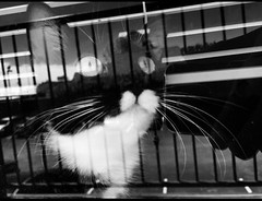 Final four zorro cat (snaphouston) Tags: pet sun white black reflection monochrome animal cat eyes mask zorro pupil robber