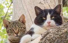 GATOS (BLAMANTI) Tags: cat gatos