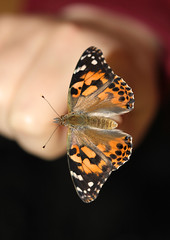 Home Grown Painted Lady! (RiverCrouchWalker) Tags: butterfly insect spring april homegrown invertebrate paintedlady 2016 vanessacardui