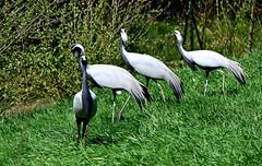 Elgantes demoiselles (Diegojack) Tags: nikon demoiselle oiseaux ain lgance grce quatuor grues villarslesdombes nikonpassion d7200