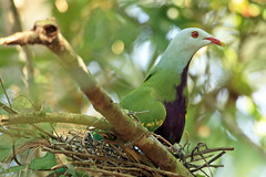 Nesting Wompoo (aussiegypsy_visiting NT Top End) Tags: world wild green bird heritage nature wet fruit female spectacular sticks rainforest colorful sitting view adult nest pigeon dove wildlife side profile australian large australia exotic breeding area qld queensland tropical colourful aussie twigs farnorth tropics magnificent nesting kuranda birdlife fnq naturalhabitat athertontablelands ptilinopusmagnificus cairnshighlands tnq wompoo lesscommon purplebreast kcons