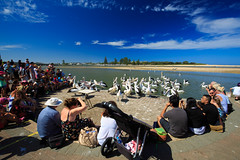 LR-160316-021.jpg (Finert) Tags: theentrance friendlyflickr pelicanfeeding 160316