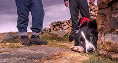 """17/52 """"I'm quite comfortable here ... just thought you need to know that .. in case we're going further just for my sake"""" (JJFET) Tags: 17 52 weeks for dogs mist border collie dog sheepdog littledoglaughedstories"""