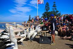 LR-160316-038.jpg (Finert) Tags: theentrance friendlyflickr pelicanfeeding 160316