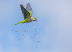Monk Parakeet (PeterBrannon) Tags: bird nature florida wildlife flight polkcounty monkparakeet myiopsittamonachus nestingmaterial