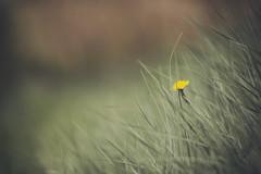 un solo dia de vida... (joaaglera) Tags: light flower color luz one nikon solitude colours dof bokeh flor uno desenfoque soledad 105 nikkor tones d610 tonos 105mmf2ddc 105dc nikkor105mmf2dafdc