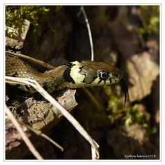 Grass Snake (johnchance2491) Tags: grasssnake natrixnatrix greatfen