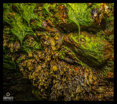 Bladderwrack and Ulva (Impact Imagz) Tags: seaweed nature canon marine ngc algae westernisles isleoflewis marinelife 6d outerhebrides seaweeds ulva bladderwrack 14mm samyang vatisker vatiskerbeach ulvaenteromorpha