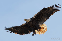 Returning Home (20160426-120904-PJG) (DrgnMastr) Tags: nature bravo bio cropped crows eagles baldeagles coth littlestories eo2 natureplus oe1 avianexcellence diamondclassphotographer flickrdiamond sacrednature overtheexcellence goldwildlife naturesspirit picswithsoul damniwishidtakenthat dmslair sunshinegroup opticalexcellence grouptags mcfavs allrightsreserveddrgnmastrpjg pjgergelyallrightsreserved ia47