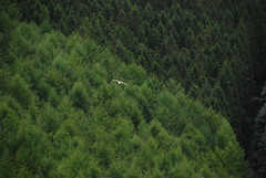 Wales, Ceredigion, Bwlch Nant yr Arian Red Kite Centre - Red Kite over woods (Biffo1944) Tags: kite wales ceredigion yr nant red centre kite arian bwlch