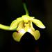 _MG_5100_Oeceoclades pulchra (Fleur)