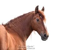 Simple Beauty (Hestefotograf.com) Tags: portrait horse motion beauty animal oslo norway hair caballo cheval movement wind spirit blowing headshot cavallo cavalo pferd equine mane hest paard spaniard hengst purarazaespanol equinephotography hestefotograf