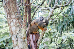 Ojitos. (Richard Here) Tags: naturaleza nature ro mono colombia selva richard ricardo leticia amazonas fotografa durn capuchino richardhere