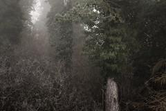 Choke (jellyfire) Tags: trees mist fog forest landscape woods moody sony serene atmospheric landscapephotography knettishallheath sonya7r sonyfe70200mmf40goss leeacaster wwwleeacastercom
