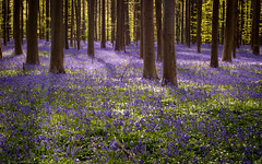 Purple Carpet (dressk) Tags: wood tree nature forest carpet spring nikon purple belgium belgique april bluebell hallerbos belge boisdehalle nikond40x d40x