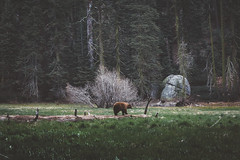 (jasde) Tags: bear nature landscape sequoia