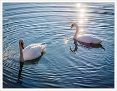 Swans of the New Year (II) (amanessinger) Tags: bird river austria swan krnten carinthia villach drau manessingercom