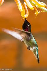 IMG_3170.jpg (ashleyrm) Tags: travel arizona birds museum sonora desert tucson hummingbirds birdwatching avian tucsonarizona hummingbirdaviary