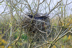 Carrion crow (Corvus corone) on nest of sticks and string (Ian Redding) Tags: uk tree bird nature animal fauna night sticks european sitting nest dusk wildlife aves pollution rubbish eggs string environment british chicks crow rook twine birdsnest nesting incubating corvidae carrioncrow corvuscorone fishingtackle