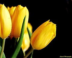 Perle de rose du matin (laurek.photography) Tags: black france water yellow jaune noir drop tulip fond tulipe