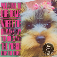 Arent we all willing accomplices in this scheme? (itsayorkielife) Tags: yorkie quote yorkshireterrier yorkiememe