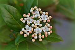Tens of tiny flowers... (Maria Godfrida) Tags: flowers white green nature garden spring blossom small tiny bloom springtime flourish whiteflowers tens
