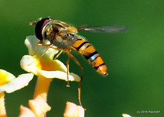 DSC_0757 (rachidH) Tags: nepal nature insects flies pokhara hoverfly syrphidae flowerfly syrphid syrphidfly rachidh