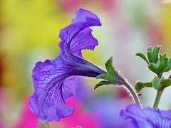 A Splash of Color (sirenscotland) Tags: flowers arizona plants nature floral spring purple petunias