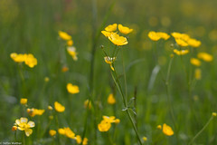 Spring in yellow (picturesbywalther) Tags: flowers nature yellow spring jahreszeiten meadow wiese blumen gelb frhling