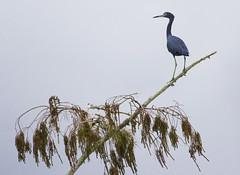 Little Blue Heron (Billtacular) Tags: bird nature birds outdoors florida wildlife birding fl birdwatching vertebrate