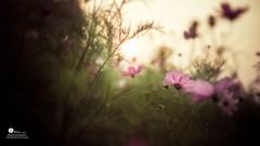 波斯菊 (Wi 視覺) Tags: light flower