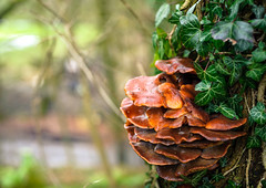 Fungi (jon.a_hession) Tags: tree green nature mushroom 1025fav 510fav nikon unitedkingdom britain derbyshire ivy fungi fungus nikkor nikkor50mmf14d 50mmf14d hession d700