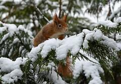 Shall I Jump ?. (Chris Sweet 85) Tags: nature nikon squirrel bwc redsquirrel earthnaturelife nikond7100