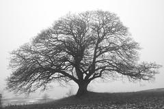 naked big oak tree in the haze