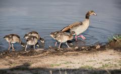 Egyptian Goose with feeding goslings_DSC2711.jpg (riandar) Tags: africa birds kenya wildlife safari mara masaimara egyptiangoose