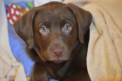Hello Pebbles :) (s_un_flower44) Tags: dog puppy labrador chocolate labradorretriever chocolatelabrador chocolatelabradorpuppy