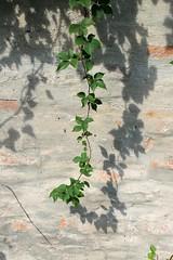 Ramo con foglie verdi (Lovando) Tags: venice italy green leaves foglie italia branch with ramo venezia con itali verdi venezi