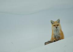 Red Fox (SandyK29) Tags: winter red snow cold fur furry wildlife valley fox yellowstonenationalpark yellowstone wyoming snowscape haydenvalley redfox nikond800