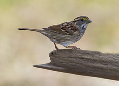 White-throated Sparrow (AllHarts) Tags: whitethroatedsparrow memphistn backyardbirds