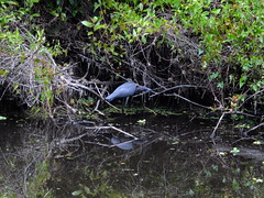 Fishing in the Shadows (failing_angel) Tags: florida wetland esterobay fortmyers fortmyer sixmilecypressslough sixmileslough 240515 sixmilecypresssloughpreserve linearecosystem naturaldrainageway