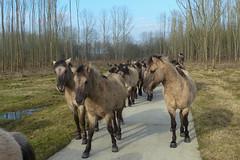De Stille Kern_Horsterwold_Zeewolde_konikpaard_5 (Edwin Pijpers) Tags: natuur horsterwold landschap zeewolde konikpaarden destillekern