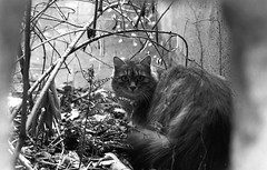 La cachette (tonic_witch) Tags: blackandwhite cats film chats noiretblanc ilfordhp5plus contaxrx planart1450