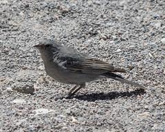 Plumbeous Sierra-Finch (Ralph Green) Tags: chile bird southamerica birds andesmountains atacamadesert plumbeoussierrafinch phrygilusunicolor pajaroplomo
