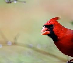 Chomp (Gabriel FW Koch) Tags: red bird wet rain canon eos dof cardinal bokeh feathers stormy telephoto rainy raining songbird northerncardinals seedeater
