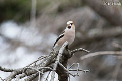 Hawfinch /  (Coccothraustes coccothraustes) (a-giau) Tags: japan cloudy overcast handheld  hawfinch coccothraustescoccothraustes 7d2    7dii 7dmarkii tamron150600mm