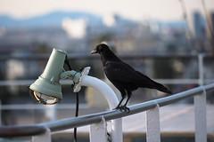 (garthim) Tags: bird japan olympus kurihama kanagawa omd em1  1240mm mzuiko