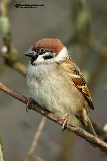 Eurasian Tree Sparrow, Passer montanus.