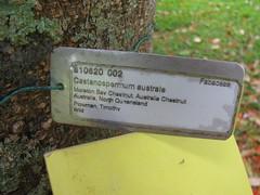 starr-120606-9535-Castanospermum_australe-plant_label-Kahanu_Gardens_Hana-Maui (Starr Environmental) Tags: castanospermumaustrale