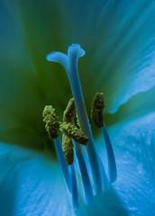 Amaryllis - The Naughty Bits (Julian Chilvers) Tags: flower stamen amaryllis backlit stigma